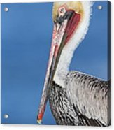 Brown Pelican Head Shot Acrylic Print