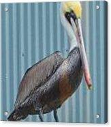 Brown Pelican II Acrylic Print