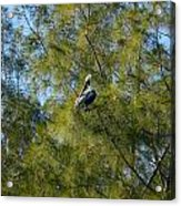 Brown Pelican In The Trees Acrylic Print