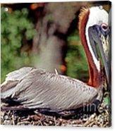 Brown Pelican Incubating Eggs Acrylic Print
