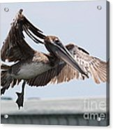 Brown Pelican Landing Acrylic Print