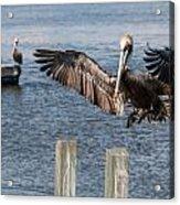 Brown Pelican Touchdown Acrylic Print