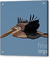 Brown Pelican Pelecanus Occidentals  Photo By Pat Hathaway 2007 Acrylic Print