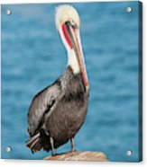 Brown Pelican Pelecanus Occidentalis Acrylic Print