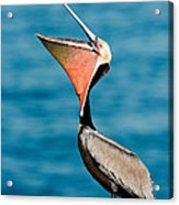Brown Pelican Showing Pouch Acrylic Print