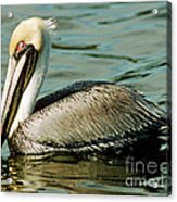 Brown Pelican Swimming Acrylic Print
