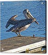 Brown Pelican Takes Flight Acrylic Print