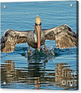 Brown Pelican Taking Off Acrylic Print