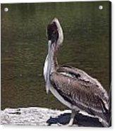 Brown Pelican Tall Acrylic Print