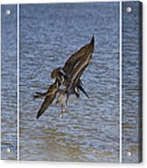 Brown Pelican - Triptych Acrylic Print