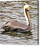 Brown Pelican1 Acrylic Print