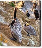 Brown Pelicans At Rest Acrylic Print