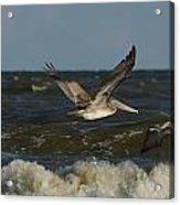 Brown Pelicans In Flight Acrylic Print