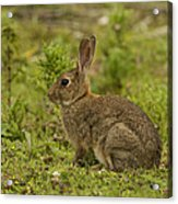 Brown Rabbit Acrylic Print
