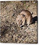 Brown Rat Acrylic Print