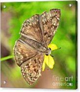 Brown Skipper Butterfly Square Acrylic Print