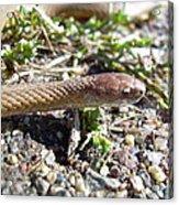 Brown Snake Acrylic Print