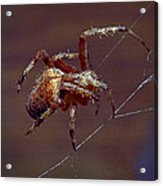 Brown Spider Acrylic Print