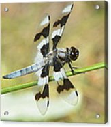 Brown Striped Double Winged Dragonfly Acrylic Print