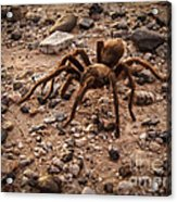 Brown Tarantula Acrylic Print
