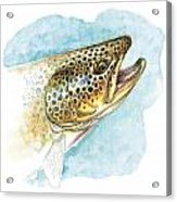 Brown Trout Study Acrylic Print