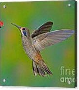 Brown Violet-ear Hummingbird Acrylic Print