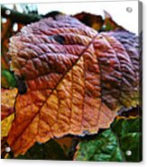 Browned Off  Acrylic Print