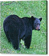 Browsing Black Bear Acrylic Print