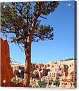 Bryce Canyon Pine Acrylic Print