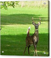 Buck And Doe Acrylic Print