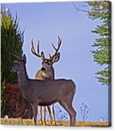 Buck And Doe In Yard Acrylic Print
