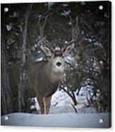 Buck I Acrylic Print