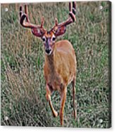 Buck In Motion Acrylic Print