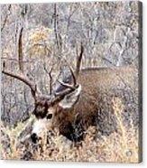 Buck In The Rutt Acrylic Print