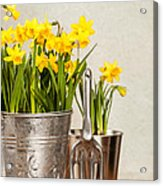 Buckets Of Daffodils Acrylic Print by Amanda Elwell