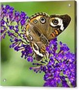 Buckeye Butterfly On Purple Flowers Acrylic Print