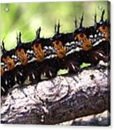 Buckeye Caterpillar 2 Acrylic Print