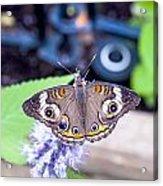 Buckeye I Acrylic Print