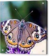 Buckeye II Acrylic Print