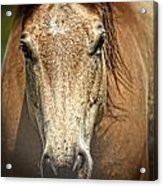 Buckskin Stallion Acrylic Print