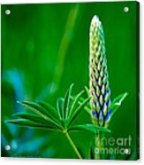 Bud And Leaf Of A Lupin Acrylic Print