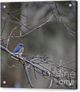 Budding Bluebird Acrylic Print