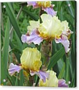 Budding Iris Acrylic Print