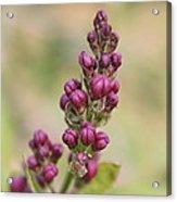 Budding Lilac 4 Acrylic Print
