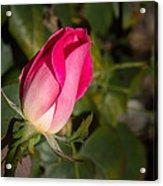 Budding Pink Rose Acrylic Print
