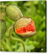 Budding Poppy Acrylic Print