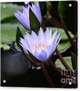Budding Purple Water Lilies Acrylic Print