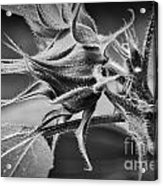 Budding Sunflower In Black And White Acrylic Print