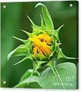 Budding Sunflower Acrylic Print