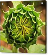 Budding Sunflower Acrylic Print
